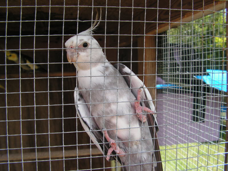 White Face Cockatiel - Bribie Birds & Brokerage